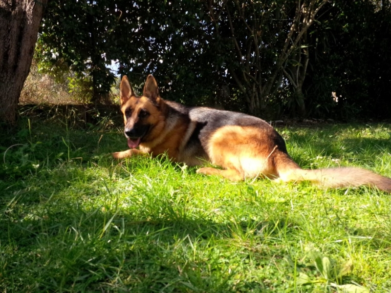 cane pastore tedesco kika ritrovamento (1)