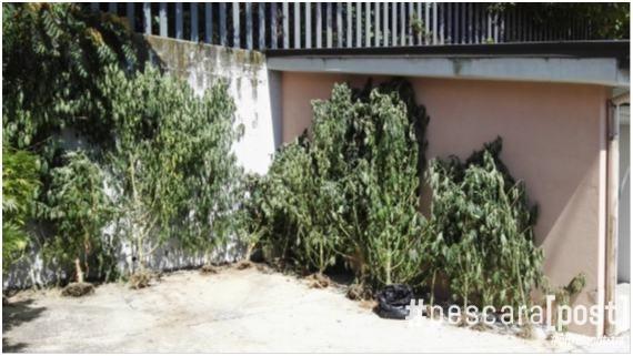 piante-sequestrate-elice-1
