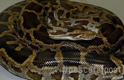 The Maryland Zoo in Baltimore Photo by Jeffrey F. Bill / Staff Animal Embassy Van Photos serval, skink, skunk, bearded dragon, boa, tortoise,  leopard geckos. 2/08/06 Digital Photograph DSC_0066