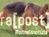 cane-pastore-tedesco-kika-smarrita-cappelle-sul-tavo-2
