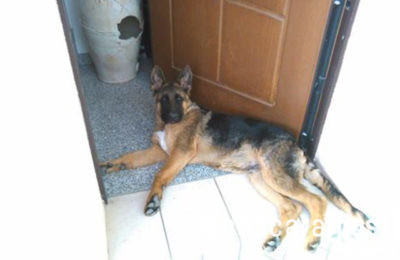 cane-pastore-tedesco-rubato-loreto-aprutino-1