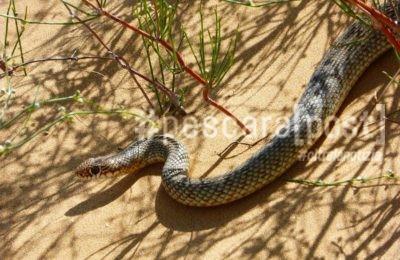 serpente spiaggia